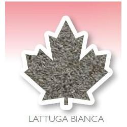 Graine de laitue blanche 1Kg Manitoba